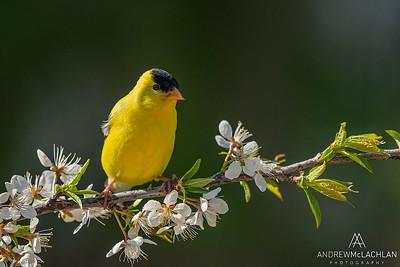 American Goldfinch (Spinus tristis) male
