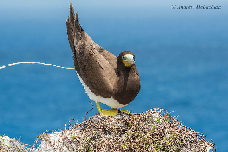 Brown Booby (sula leucogaster)