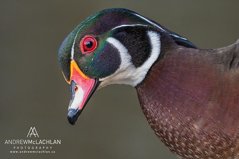 Wood Duck (Aix sponsa) drake, High Park, Toronto, Ontario, Canada