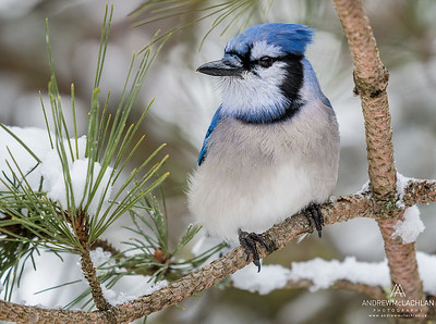 Blue Jay (Cyanocitta cristata) in winter, Algonquin Provincial Park, Ontario, Canada
