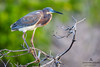 Tricolor Heron (Egretta tricolor), Cayman Brac, British West Indies