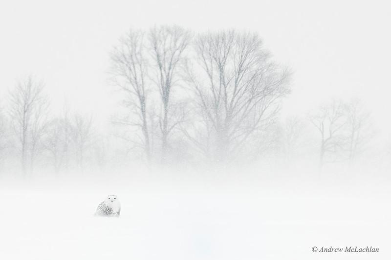 Snowy Owl (nyctea scandiaca) in Winter Storm