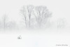 Snowy Owl (nyctea scandiaca) in Winter Storm