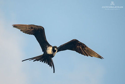 Magnificent Frigatebird (Fregata magnificens), Cayman Brac, British West Indies
