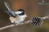 Black-capped Chickadee (Parus atricapillus)