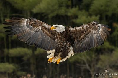Bald Eagle (Haliaeetus leucocephalus) - captive