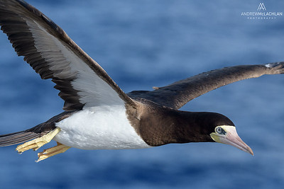 Brown Booby (Sula leucogaster) in flight, Cayman Brac, British West Indies