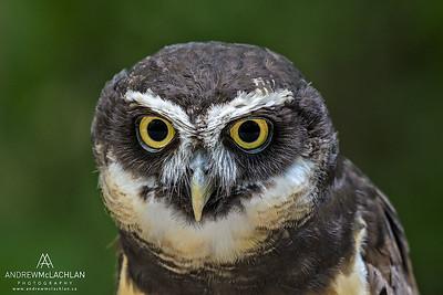 Spectacled Owl (Pulsatrix perspicillata) - captive