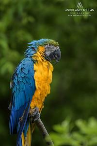 Blue and Gold Macaw (Ara ararauana) - captive