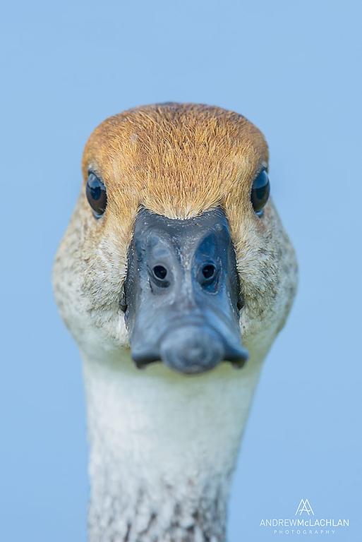 West Indian Whistling Duck (Dendrocygna arborea), Cayman Brac, British West Indies