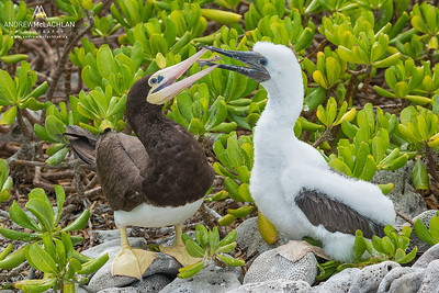 Brown Booby (Sula leucogaster) with chick on Cayman Brac