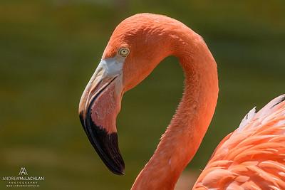 Greater Flamingo (Phoenicopterus roseus) - captive