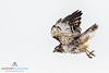 Red-tailed Hawk (Buteo jamaicensis) - in flight