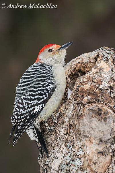 Red-bellied Woodpecker (Melanerpes carolinus) - male