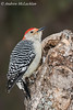Red-bellied Woodpecker (Melanerpes carolinus) - male