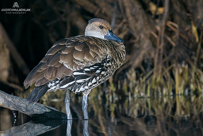 West Indian Whistling Duck (Dendrocygna arborea), Cayman Brac, British West Indies