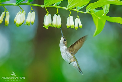 Ruby-throated Hummingbird (Archilochus colubris) female fedding at Solomon's Seal blossoms