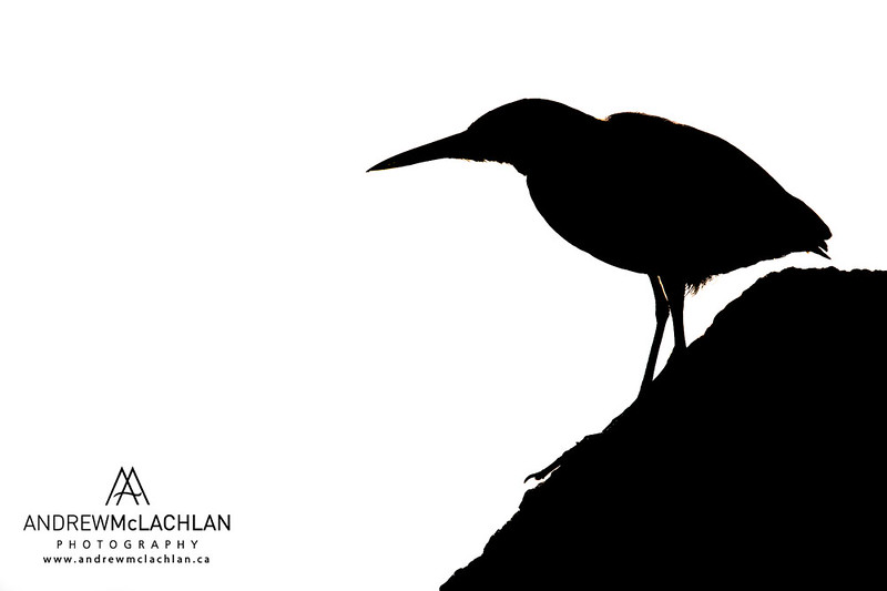 Green Heron (Butorides striatus) - Creative Edit