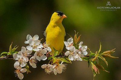 American Goldfinch (Spinus tristis) male