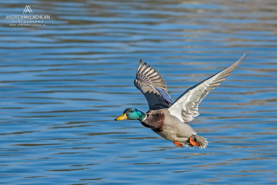 Mallard (Anas Platyrhynchos) drake in flight