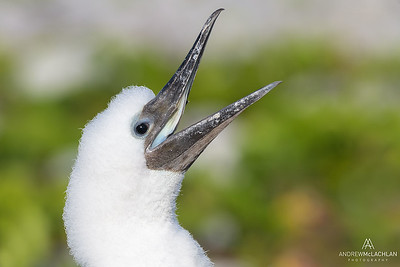 Brown Booby (Sula leucogaster) chick, Cayman Brac, British West Indies
