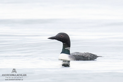 Common Loon (Gavia immer), Lake Simcoe, Barrie, Ontario, Canada