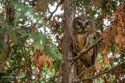 Northern Saw-Whet Owl (Aegolius acadicus), Ontario, Canada