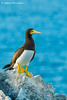 Brown Booby (sula leucogaster, Cayman Brac, Cayman Islands, Britsih West Indies