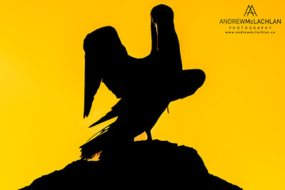 Brown Booby (Sula leucogaster) silhouette at sunset on Cayman Brac
