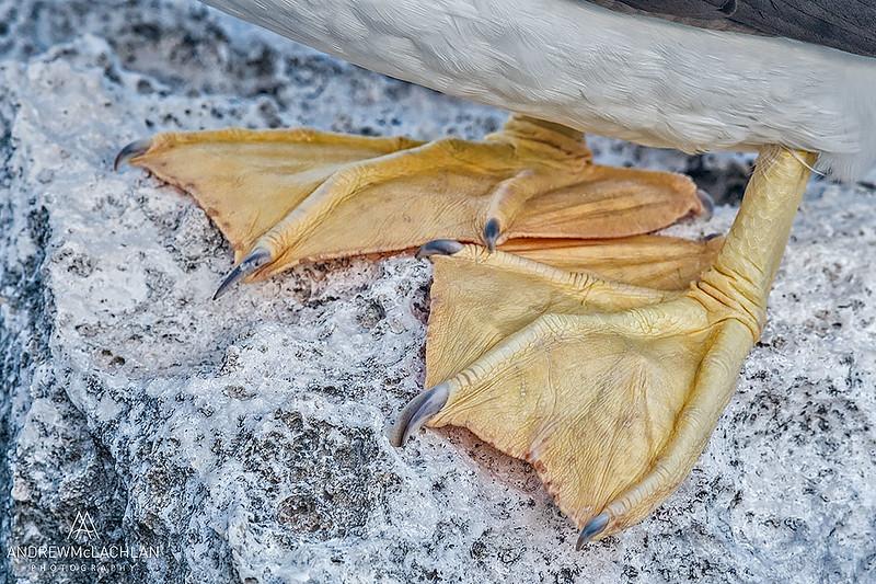 Brown Booby (Sula leucogaster) feet, Cayman Brac, British West Indies