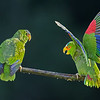 White-fronted Parrots