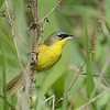 Grey-crowned Yellowthroat