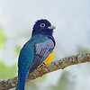 Gartered Trogon  (Northern Violaceous Trogon)