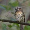 White-whiskered Puffbird female