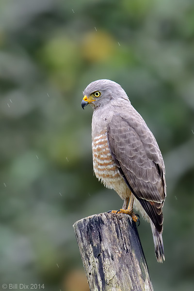 Roadside Hawk in the rain