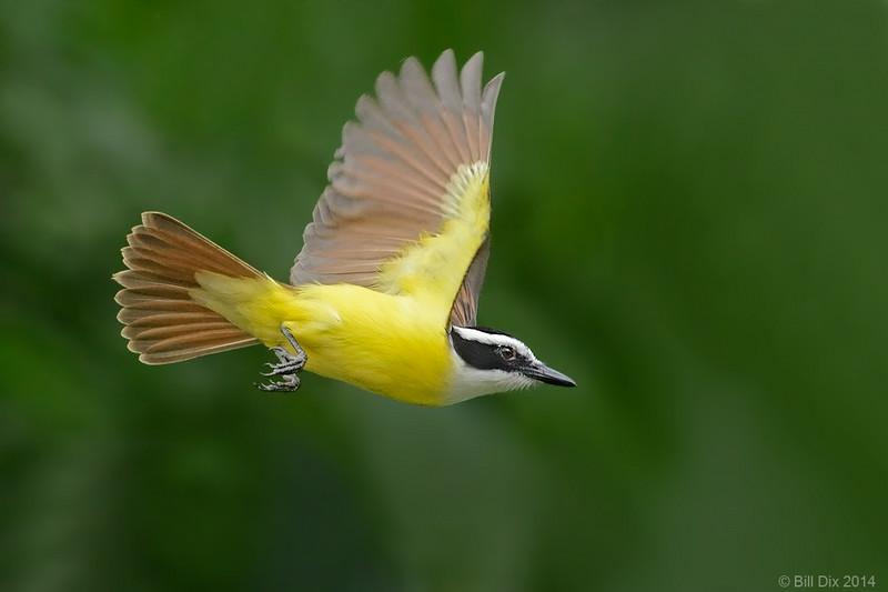 Great Kiskadee in flight