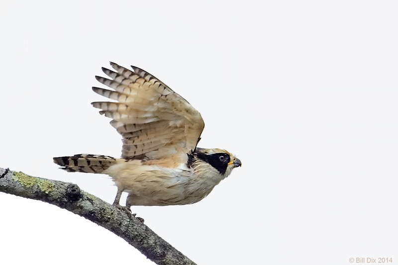 Laughing Falcon take-off