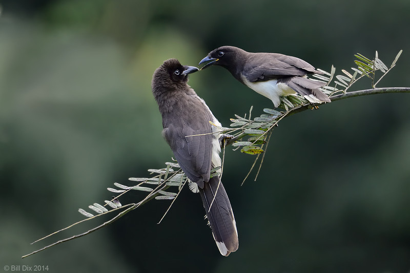 Brown Jay pair