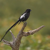 Magpie Shrike, female