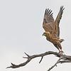Bateleur juvenile, takeoff