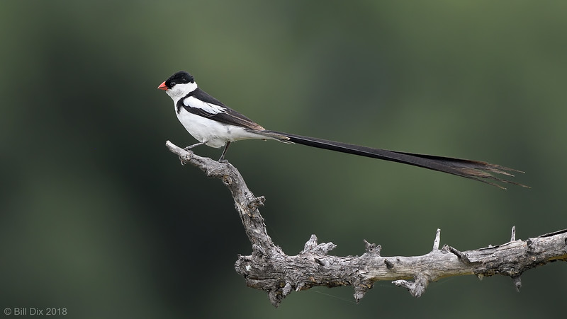 Pin-tailed Whydah, male in breeding plumage