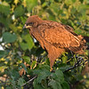 Tawny Eagle in bush