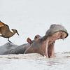 Hamerkop on Hippo 2