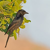 Fork-tailed Drongo juvenile