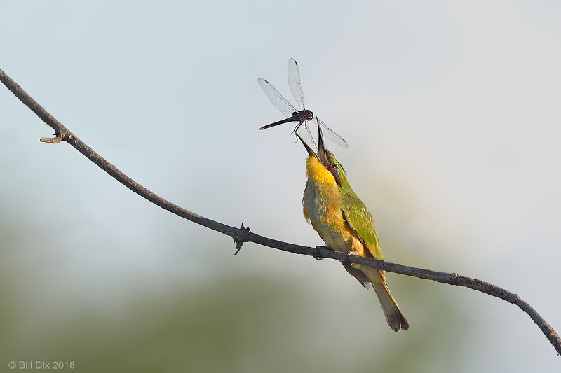Little Bee-eater with Dragonfly