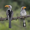 Southern Yellow-billed Hornbill pair