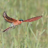 Southern Carmine Bee-eater with Alate