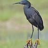 Black Heron (aka Black Egret)