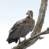 Hooded Vulture immature