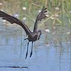 African Openbill, aka Open-billed Stork